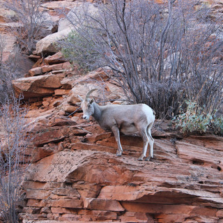 Big Horn Sheep in Zion