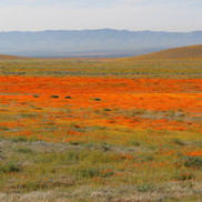 Antelope Valley Poppy Fields (Occurs in the springtime in April)