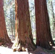 Mariposa Grove,Yosemite