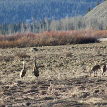 Lesser Sandhill Cranes.