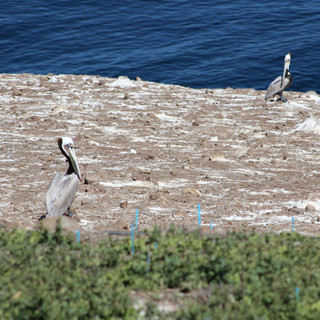Pelicans on Ana Capa island in the Channel Islands.
