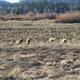 Lesser Sandhill Cranes