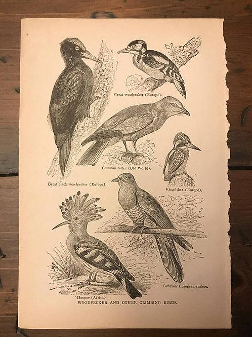 Antique Print, Bird Print, Woodpecker Art, Vintage Print, Audubon, Kingfisher