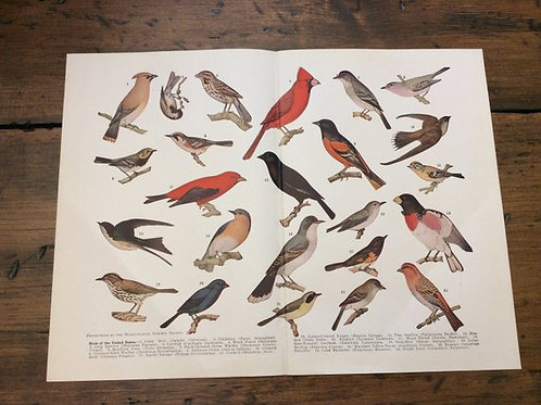 Antique Print, Birds of the United States