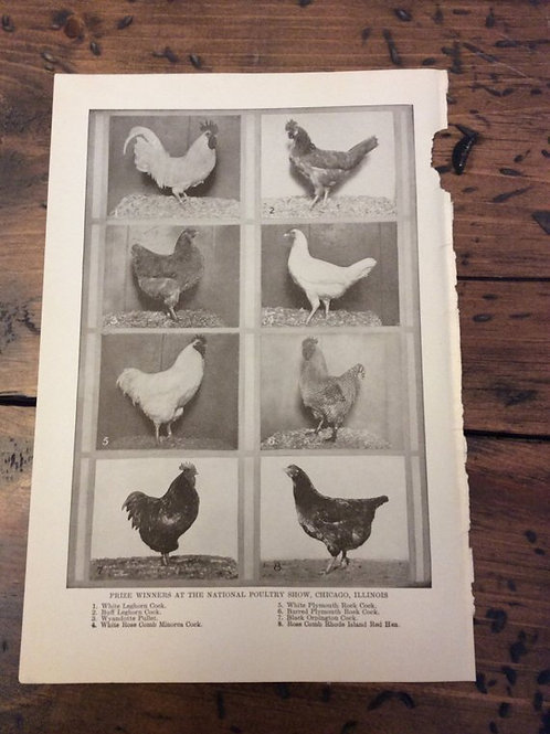 Antique Print, Chicken Print, Country Hens, National Poultry Show Winners