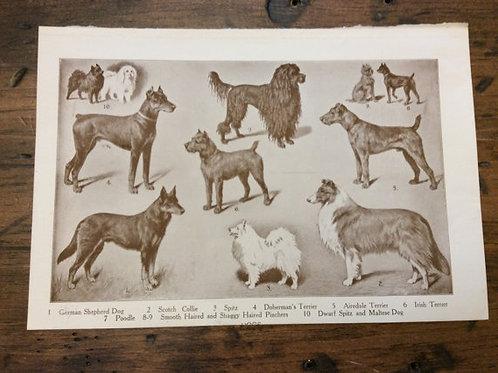 Antique Print, Dog Print, Dog Art, Vintage Print, Dog Breeds, Shepard, Terrier
