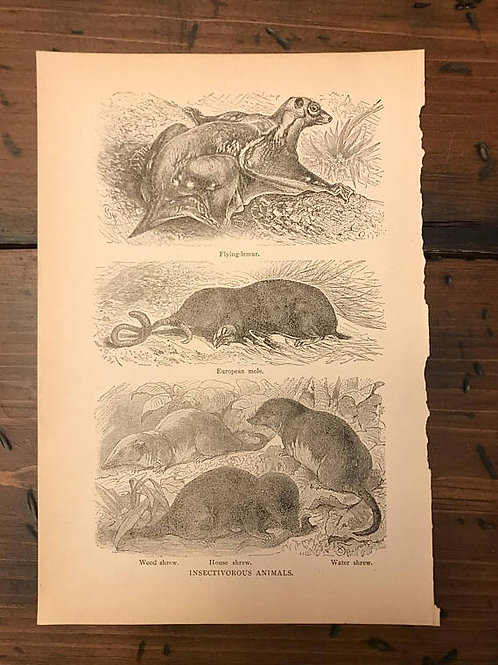 Antique Print, Flying Squirrel, Rodents, Encyclopedia Page