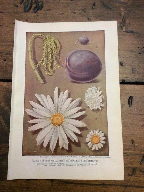 Antique Print, Flower Print, Vintage Print, Botanical, Hybrid Daisy, Book Page