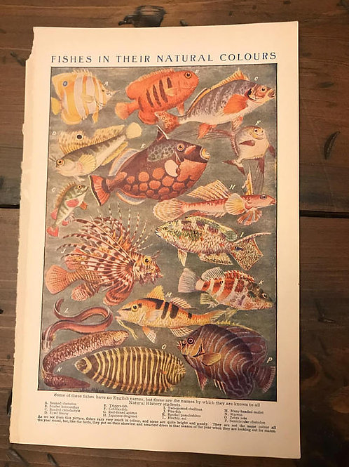 Antique Print, Fish Print, Vintage Print - Fishes in Their Natural Colours