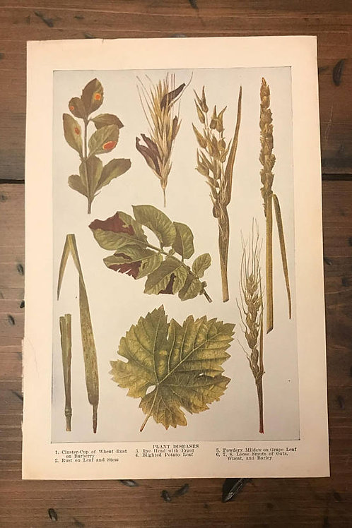 Antique Print, Plant Diseases, Lithograph, Book Page