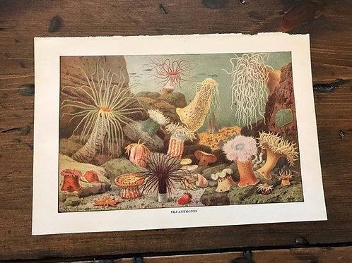 Antique Print, Coral Print, Coral Reef Print, Ocean Floor Print, Sea Anemones