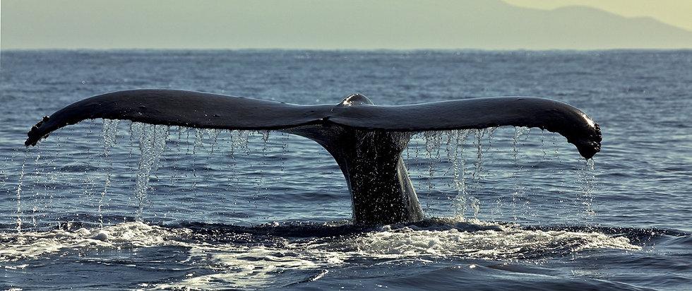 Whale_Tail-whale-maui-hawaii-tail-cesere