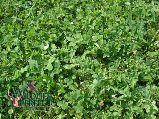 Managing Clover Food Plots