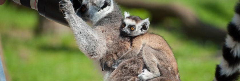 Meet & Greet - Lemuren