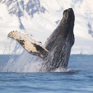 Whales in an Changing Ocean (10).jpg