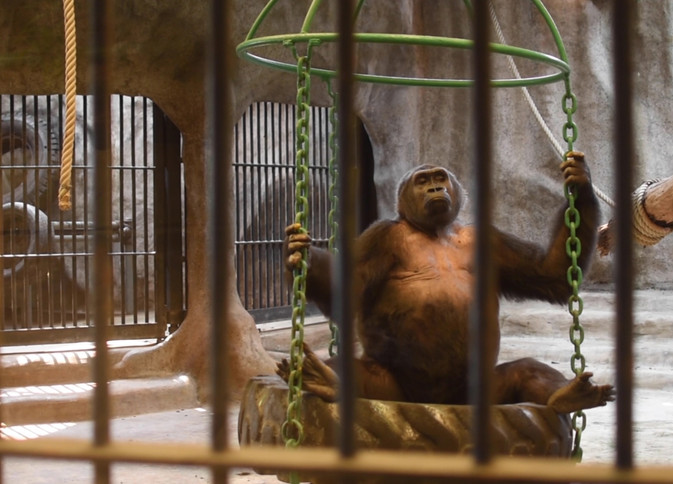 stolen apes1 (4).jpg