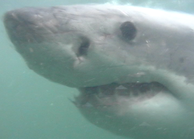 Great White Encounters 9.png