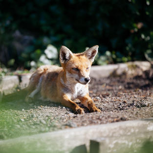 The Fox and the Allotment - Photo - IMG_1988.jpg