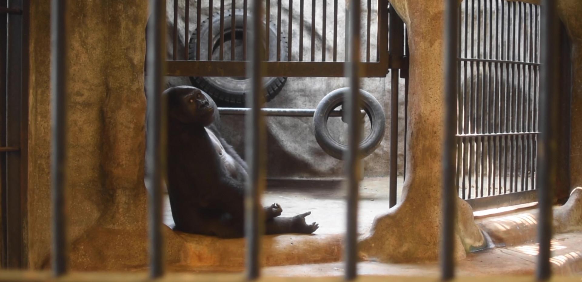 stolen apes1 (3).jpg