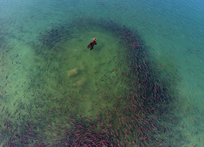 sockeye salmon red fish 1.jpg
