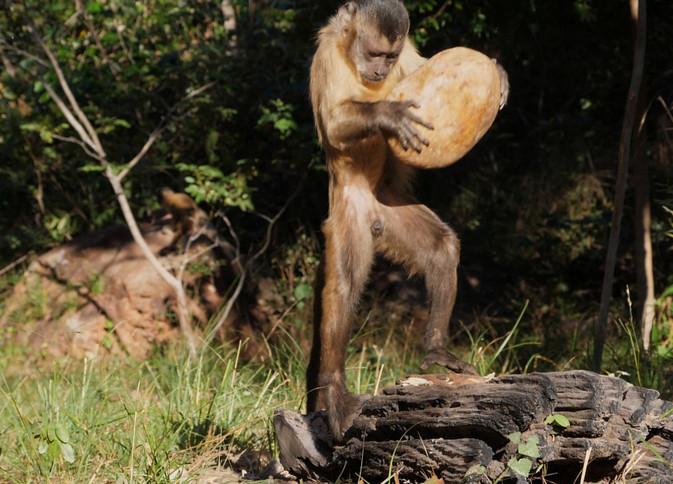 Capuchin cULTURE (3).jpg