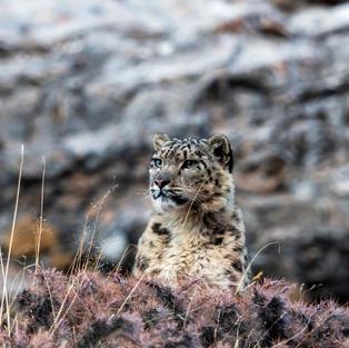 The Frozen Kingdom of the Snow Leopard (1).jpg