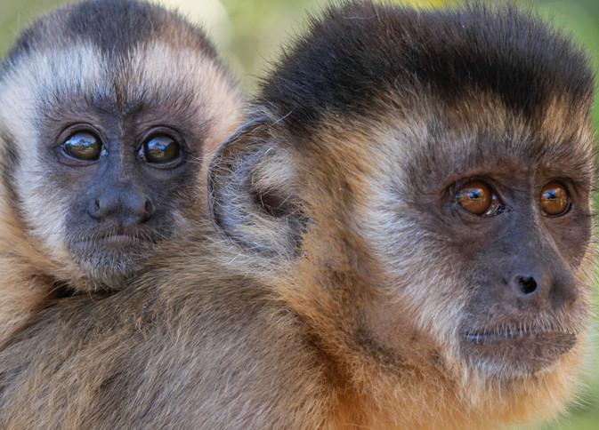 Capuchin cULTURE (2).jpg