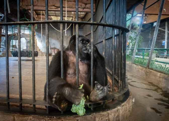 Stolen Apes.jpg