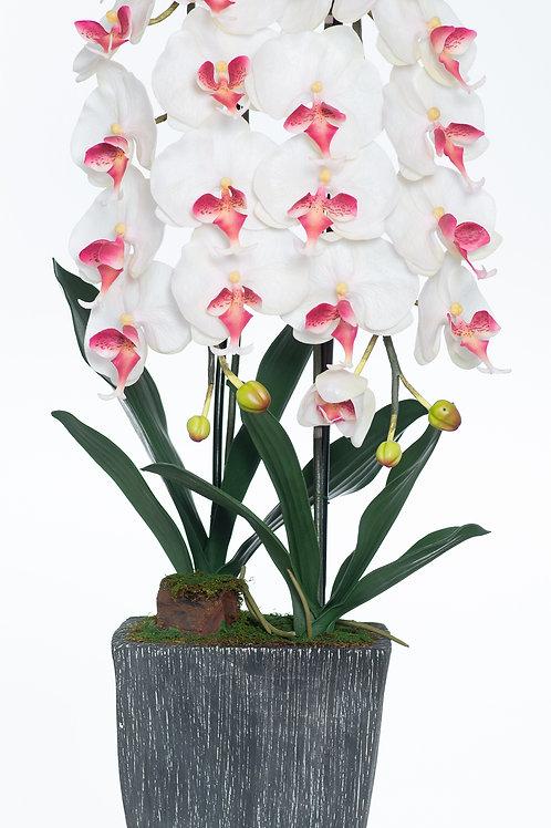 Bel Giardino White / Cream Phalaenopsis in Grey Ceramic Centerpiece