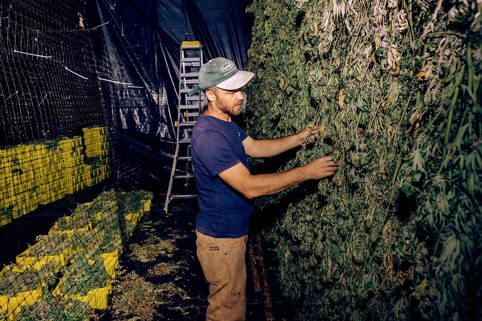 drying hemp plants at anthill farm