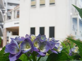紫陽花の美しい街に住みませんか。
