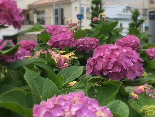 紫陽花が見ごろです!