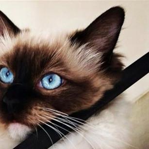 Moana's eyes are so beautiful 😻#ragdoll