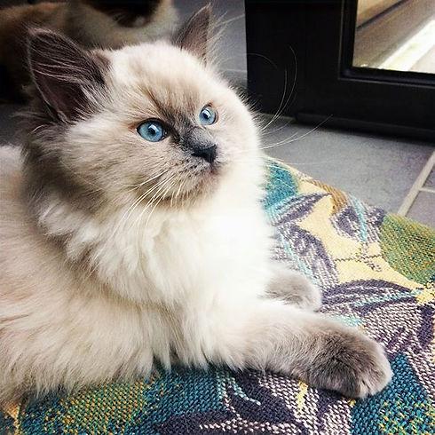 Nohette 12 weeks so beautiful princess 😻#ragdollcat #ragdoll #ragdollkittens #catofinstgram #ragdol