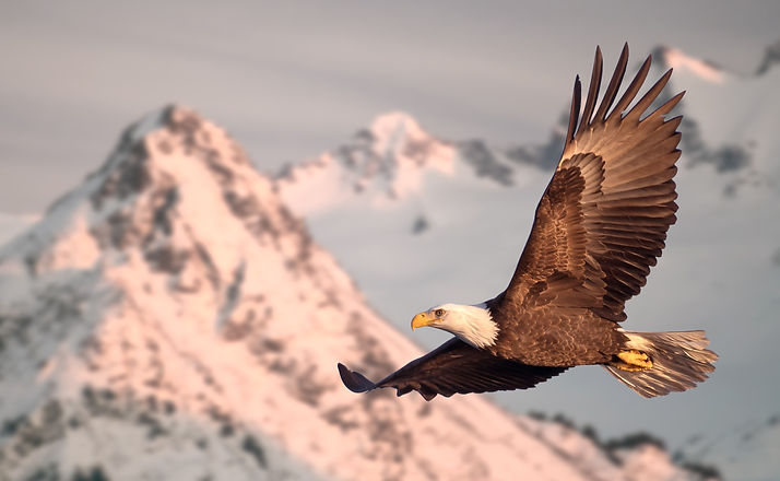 American bald eagle in flight illustrated over snow-covered mountain in Alaska's Kenai mountains_edi