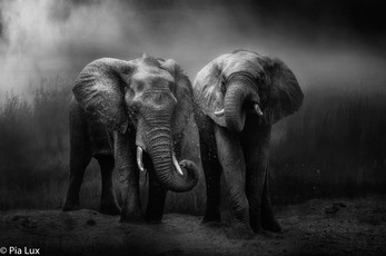 Elephants dust bath mono.jpg