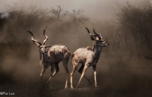 Kudus alert in the dust