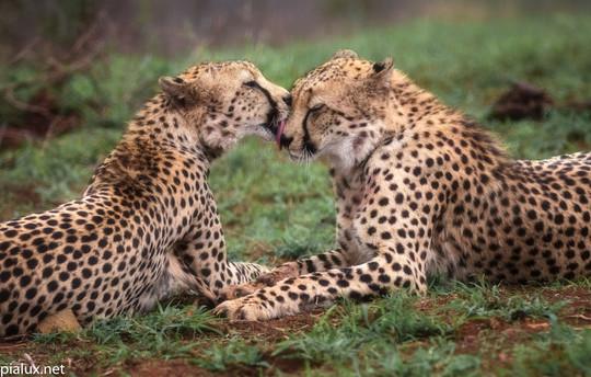 Zimanga Okt'20 Cheetahs (441 of 515).jpg