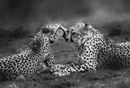 Zimanga Okt'20 Cheetahs (441 of 515) mon