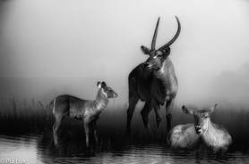 Waterbuck family mono.jpg