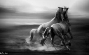 Stallion rivalry - mono