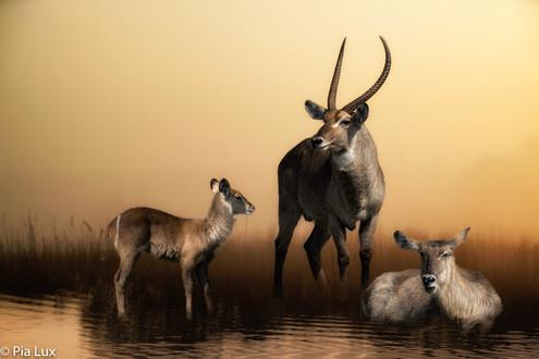 Waterbuck family.jpg