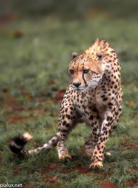 Zimanga Okt'20 Cheetahs (473 of 515).jpg