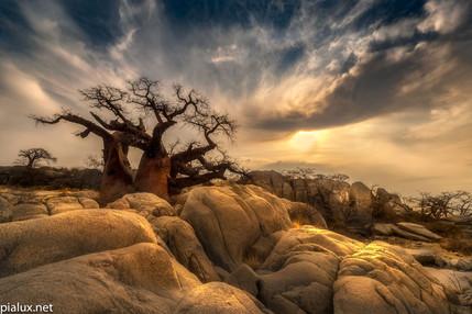 Kubu Island Baobab in the rocks.jpg