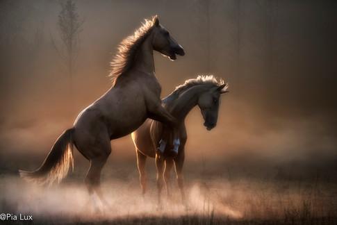 Stallion rivalry 2