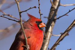 cardinal-blue-sky