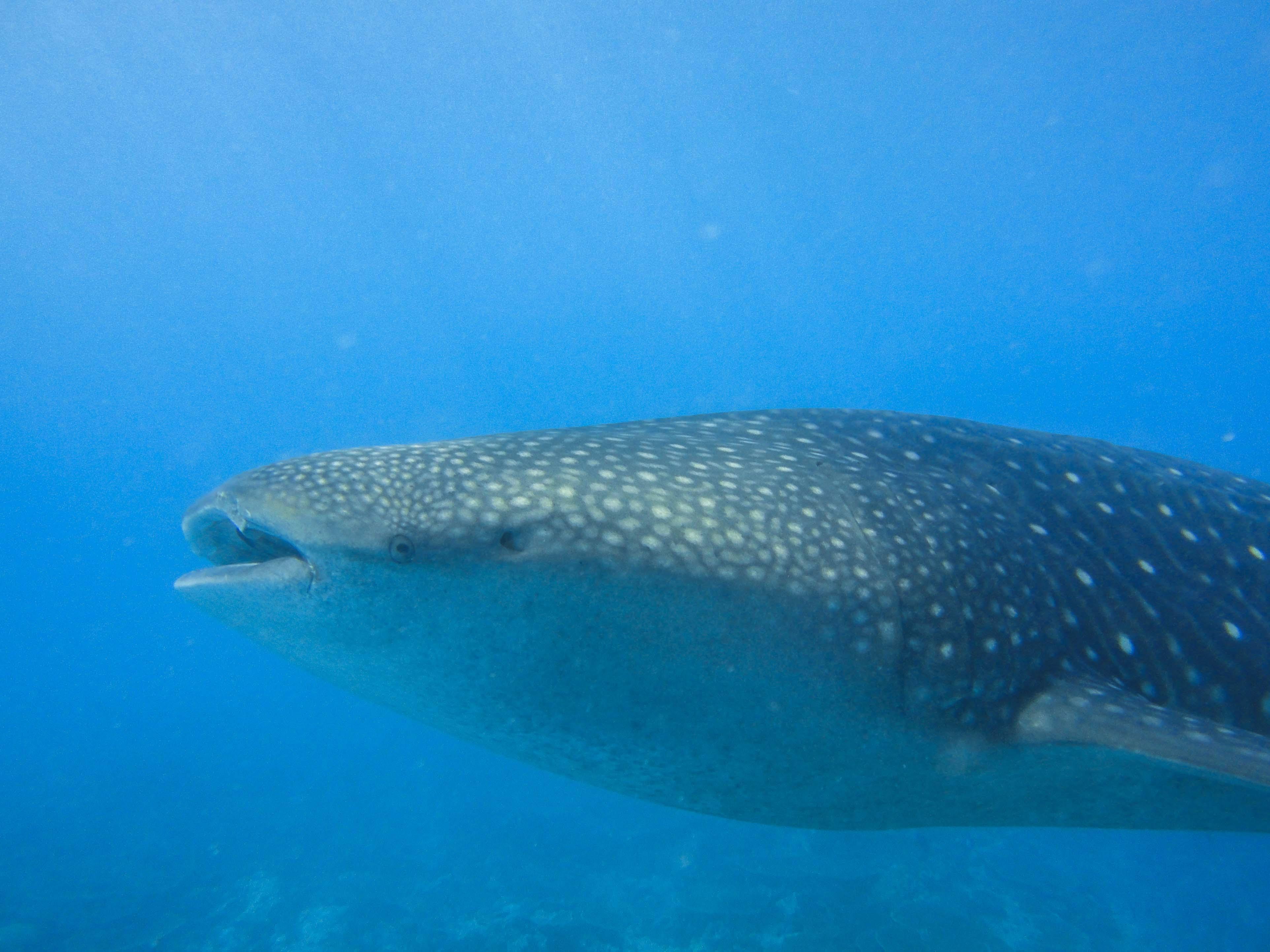 Lacabana Maldives  A DhMaamigili Island Whale Shark (1)