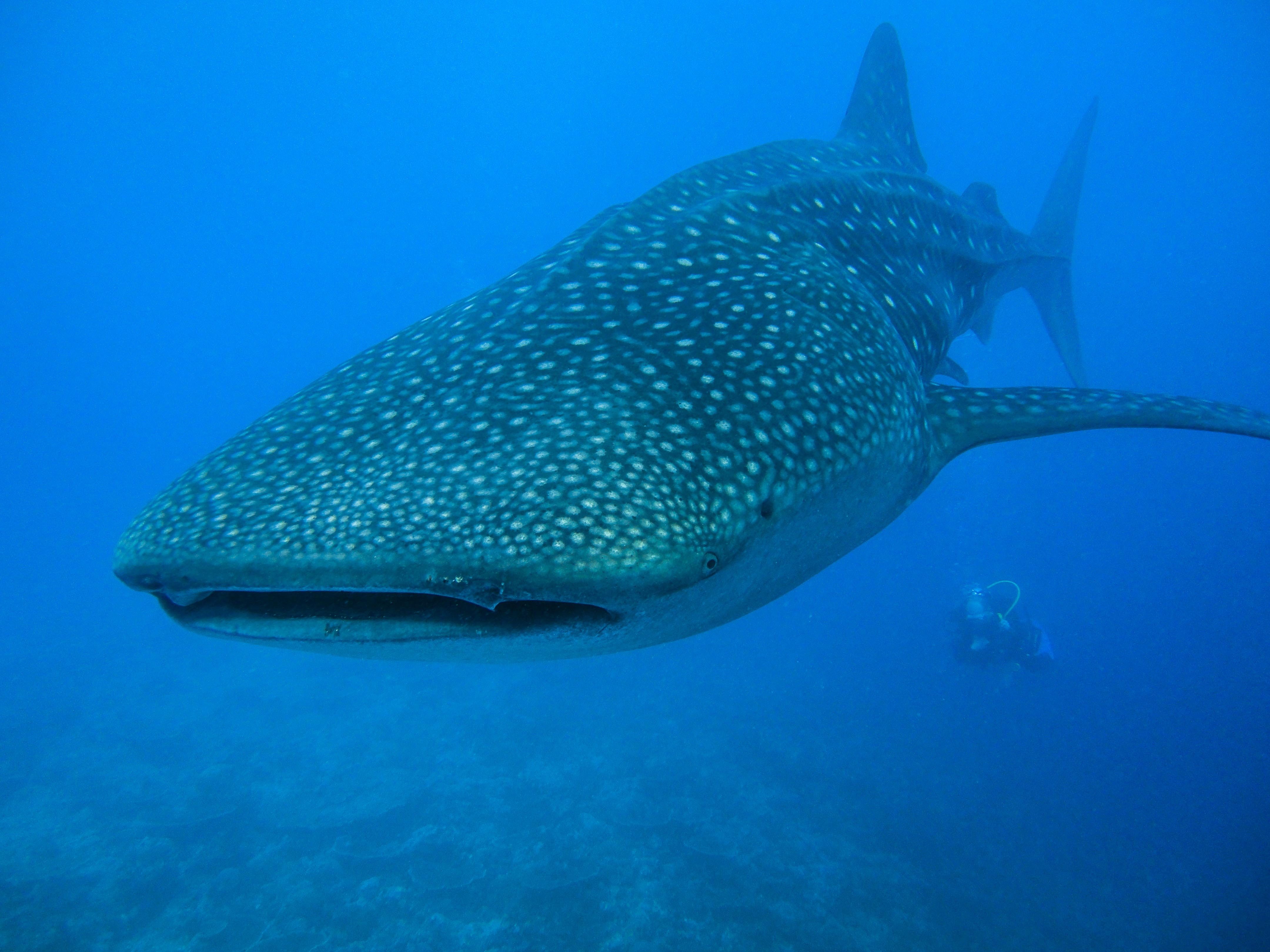 Lacabana Maldives  A DhMaamigili Island Whale Shark (3)