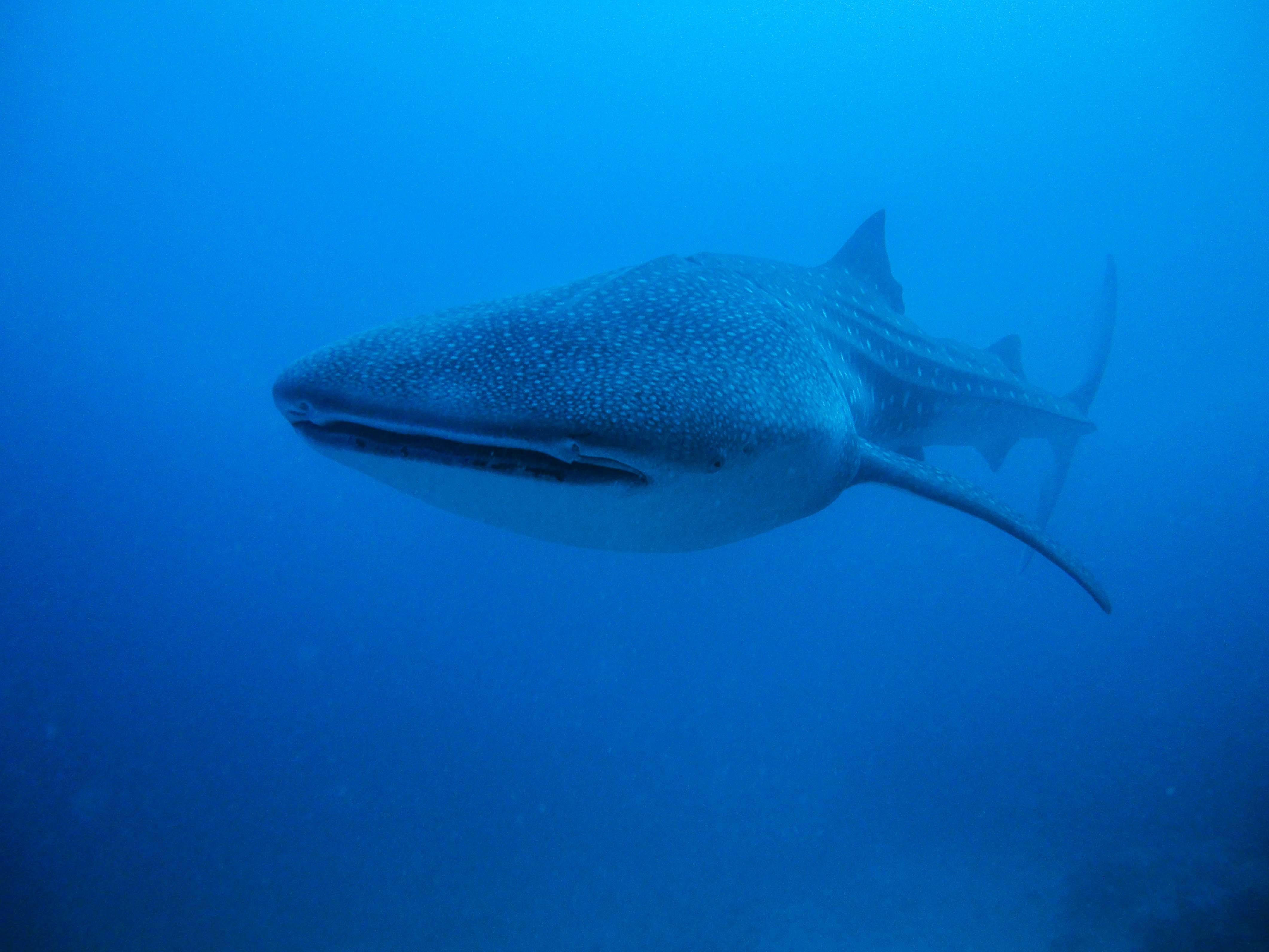 Lacabana Maldives  A DhMaamigili Island Whale Shark (5)