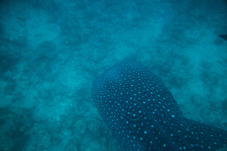 Lacabana Maldives  A DhMaamigili Island Whale Shark (9)